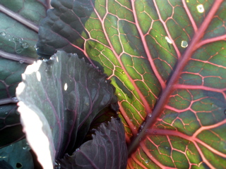 Red Cabbage Leaves | Valley Flora
